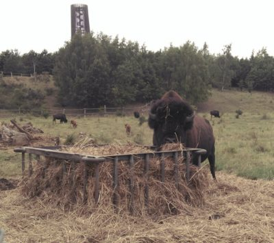 zum Glück unaufdringlicher Büffelbulle